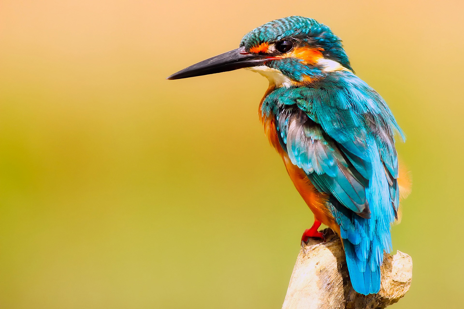 kingfisher-2046453_1920_g